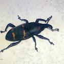 Picudo del Nopal / Weevil