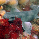 Small-spotted catshark