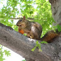Western Fox Squirrel