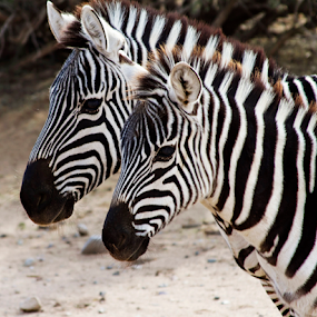 Mom and Baby Zebra by Cheryl Nestico - Animals Other Mammals ( wild life, wildlife, zebra, africa, out of africa,  )