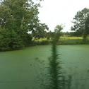 Algue on the Pond