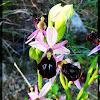 Horseshoe Bee-orchid