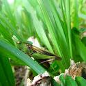 Green-striped Grasshopper