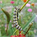Queen Butterfly Caterpillar
