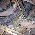 Cane toad juvenile