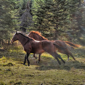 Running in Sunlight by Skye Ryan-Evans - Animals Horses ( two horses, bay mare, two mares, running horses, horses and pasture, cantering horses, sorrel mare, quarter horses, horses and trees, ranch horses, cantering-horses, galloping horses )