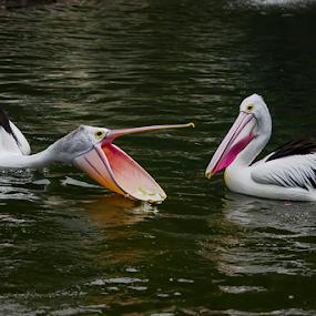 lihat apa yang ada di dalam mulut ku ? by Aris Susanto - Animals Birds