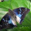 Blue-spotted Emperor