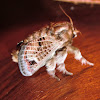 Mottled Cup Moth (♂)