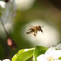 European Honey Bee