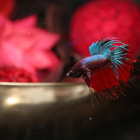 betta by Elvis Gutierrez - Animals Fish (  )