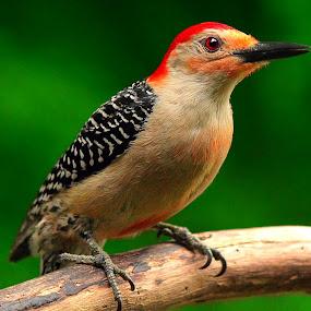 Red Bellied Woodpecker by Paul Mays - Animals Birds ( bird, nature, woodpecker, birds, kentucky,  )
