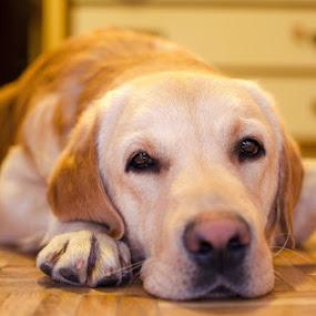 My labrador posing by Dejan Stanic - Animals - Dogs Portraits ( resting, labrador posign, cute, dog, labrador,  )