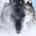 The Wolf Atom theme icon