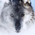 The Wolf Atom theme