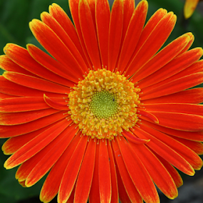 Daisy!  Daisy, give me your answer do! by Ivy Luna - Flowers Flower Gardens ( #daisy, #nature up close, #orange flower, #flower garden,  )