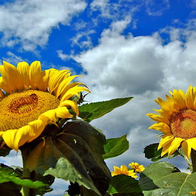 Sunflower by Katerina Mavrovska - Flowers Flower Gardens