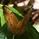 Female Common Yeoman