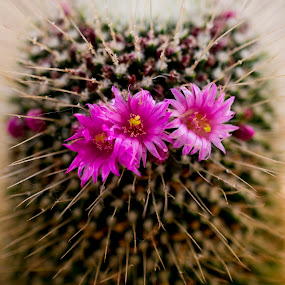 Cactus by Edmar Colo - Flowers Flower Gardens