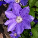 Clematis purple cultivar