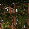 Redwoods 3D Live Wallpaper
