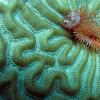 Star Horseshoe Worm