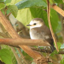 White-headed Marsh Tyrant (female)