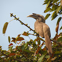 The Indian Grey Hornbill