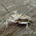 Rough Stink Bug