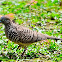 Zebra Dove or Barred Ground Dove