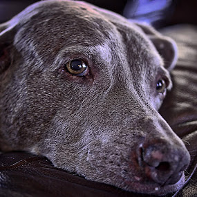 Who knows? by Jim Antonicello - Animals - Dogs Portraits ( old age, the future, dog )