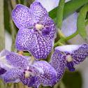 Orquídea Phalaenopsis sp