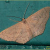 Scopula Geometrid Moth