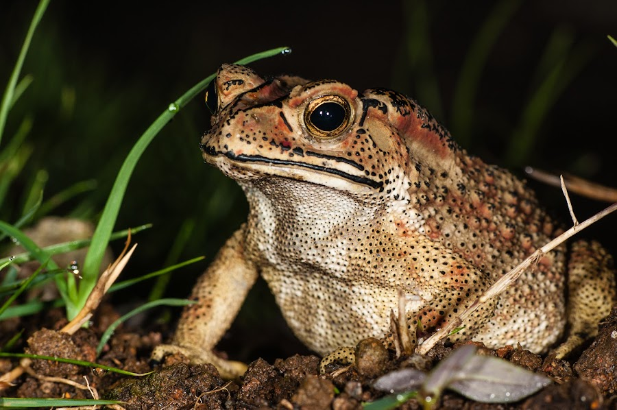 Toad by Jimmy Fang - Animals Amphibians ( animals, nature, frog, toad, wildlife, amphibians,  )