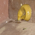 California Banana Slug