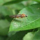 Xylophagid Fly, female