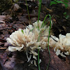 False Coral Fungus
