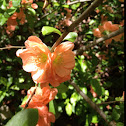 Flowering Quince / Japonica