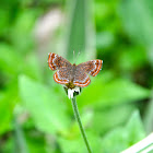 Calephalis Butterfly