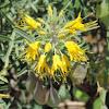 bladderpod, burrofat, and California cleome