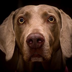 Idog by Victor Martin - Animals - Dogs Portraits ( #showusyourpets, weimaraner, dog, #garyfongpets, animal,  )