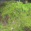 Leucobyrum Moss