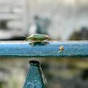 Southern green stink bug (Βρωμούσα)