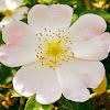 Roser silvestre