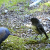 New Zealand Robin (Toutouwai)