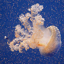 Australian spotted jellyfish or White-spotted jellyfish