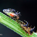 Treehopper parasitised by mite
