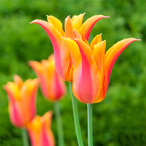 Beautiful Tulip by Toronto-Images .Com - Flowers Flowers in the Wild ( plant, nobody, creation, detail, colorful, glorious, excellent, beauty, tulips, spring, blossom, nature, gorgeous, lovely, flower, petal, park, flora, green, beautiful, superb, loveliness, bloom, sunlight, close-up, magnificent, flores, elegant, tulip, gardening, summer, celebration, garden, floral, design )