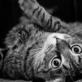 by Luis Mendez - Animals - Cats Playing