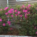 Azalea bushes